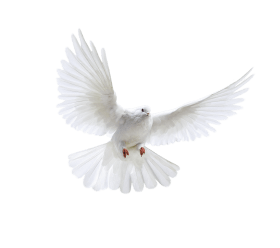 pigeon_PNG3416